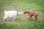 Hund og geit