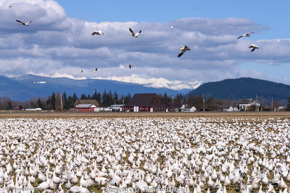 Snow Geese congregate in a field at Hayton Reserve grazing on the grass and digging up roots. Mt. Baker rises in the background and is mostly covered by clouds.