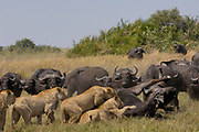 African Lion (Panthera leo) group catching Cape Buffalo (Syncerus caffer), Africa