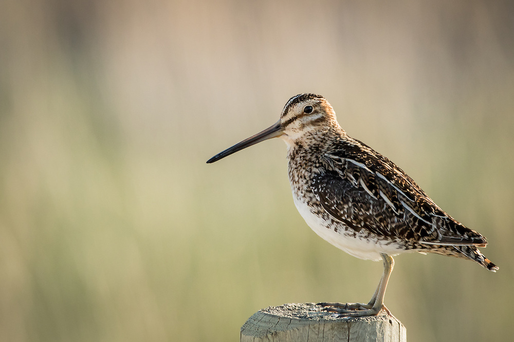 snipe, sunset