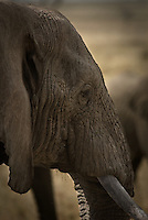 An Elephant close-up in the Serengeti National Park, Tanzania