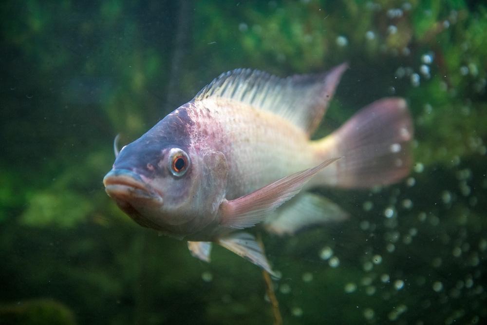 A Tilapia fish swims through bubbles in Ganta,Liberia