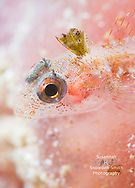 Grand Cayman - A triplefin blenny portrait. It's sitting on a purple vase sponge.  Photographed on the mini wall at Macabuca.