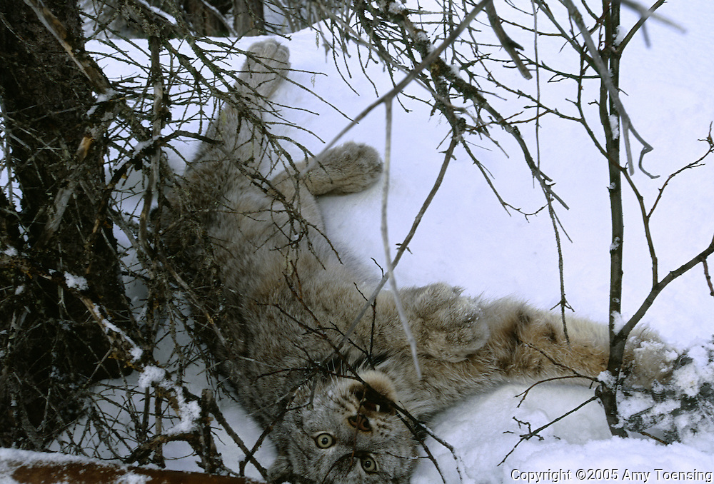 HAINES JUNCTION, BC- MARCH 8: A lynx, his right forefoot caught in a snare, awaits his fate March 8, 2005 in Haines Junction, British Columbia. This 40 lb. lynx will be put in captivity then flown to Colorado where it will be released for the Colorado Division of Wildlife Lynx reintroduction program. In 1999 the Colorado Division of Wildlife (CDOW) began a lynx reintroduction program, trapping the animals in Canada and bringing them to Colorado. The goal is to re-establish the lynx population in the state, which has been nonexistent since the 1970s, to a viable level where the population that can sustain itself. The program has brought in 204 lynx between 1999 and 2005. There have been 71 known deaths, and 101 kittens born. The program is considered widely as a success, however the program has also instigated controversy protests from animal rights groups and developers. (Photo by Amy Toensing). _________________________________<br />
