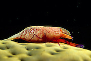 Partnergarnele auf Seegurke (Periclimenes imperator) | Emperor Shrimp (Periclimenes imperator)