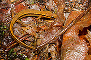 Southern Two-lined Salamander (Eurycea cirrigera)<br /> United States: Alabama: DeKalb Co.<br /> Alpine Camp for Boys<br /> Fort Payne<br /> 13-May-2017<br /> J.C. Abbott #2945