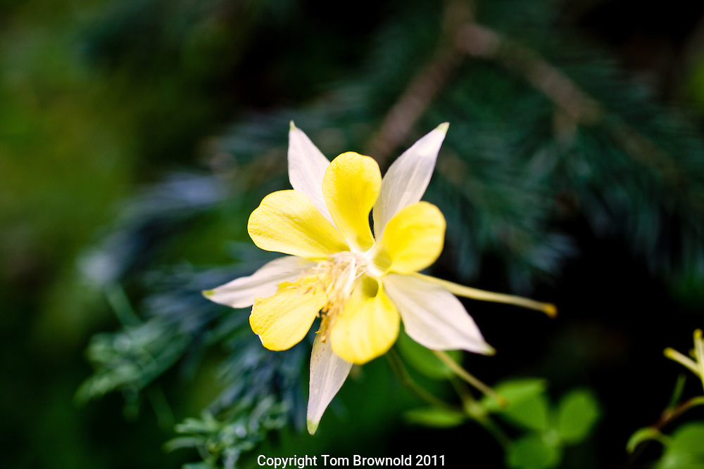 Blooming Columbine in a cool damp location