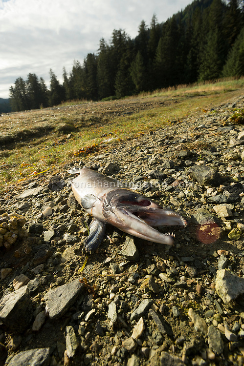 Low angle view of a dead salmon on a rocky beach in south east Alaska.