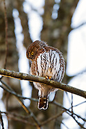 A wild Northern Pygmy-Owl (Aegolius acadicus) stares down from a branch in Mission, British Columbia