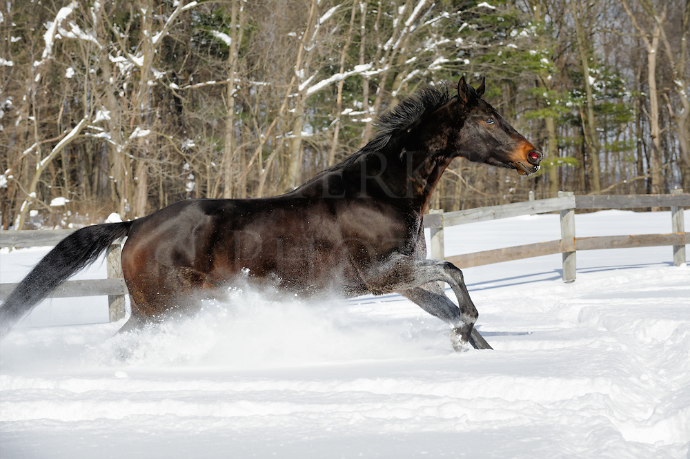 Black horse running free through white powder snow against woods background, side view, farm land in Pennsylvania, PA, USA.