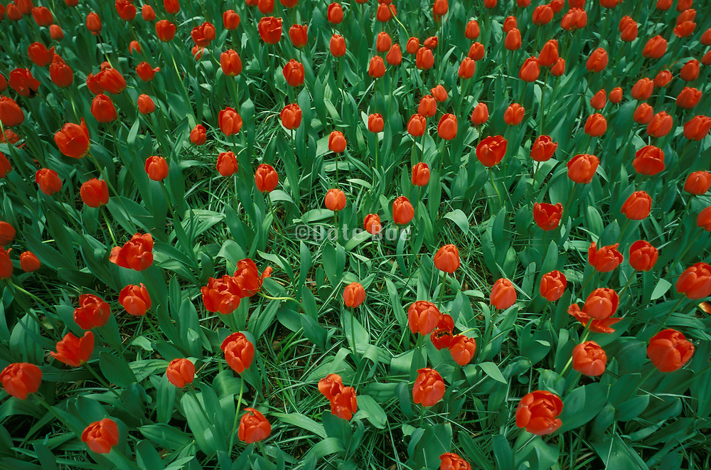 Field of bright red tulips in the green grass