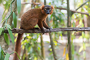 Hybrid between black lemur (Eulemur macaco) and crowned lemur (Eulemur coronatus) at Palmarium Resort, Madagascar.