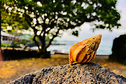 A seashell found atop of a rock near the ocean on Tuesday, June 5, 2018, in Kona, Hawaii. Photo by LE Baskow