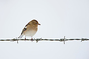 Chaffinch female perches on barbed wire by snowy hillside, The Cotswolds, UK