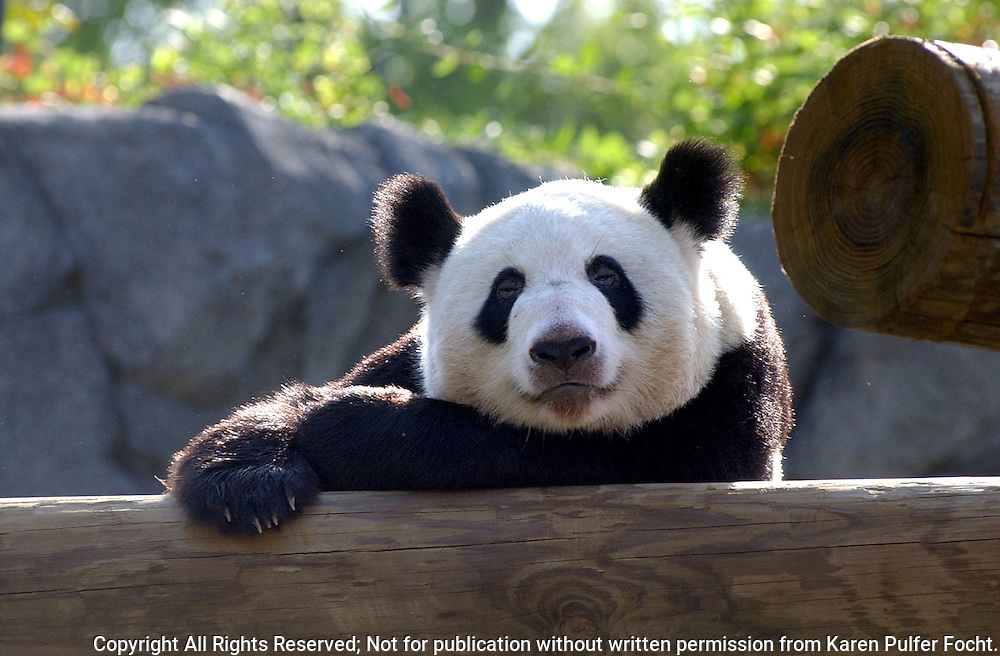 22 Apr 03 by Karen Pulfer Focht: YaYa the Giant Panda brought to Memphis from the Beijing Zoo recently,  rests outside in her play area.