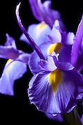 These Dutch Iris look as if they are about to take off on a flight, hence the title. I like the way they are stacked up like airplanes on the runway.