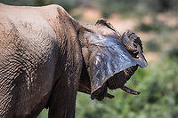 African elephant scratching ear, Addo Elephant National Park, Eastern Cape, South Africa