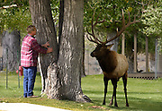 An unidentified man takes cover behind a tree as he and a bull elk have a standoff at Mammoth Hot Spring in Yellowstone National Park, September 26, 2006.
