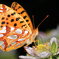 Alberto Carrera, Butterfly, Guadarrama National Park, Segovia, Castilla y León, Spain, Europe.