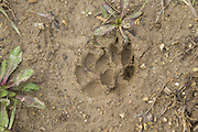 Coyote <br /> Canis latrans<br /> Tracks<br /> Chicago, Illinois