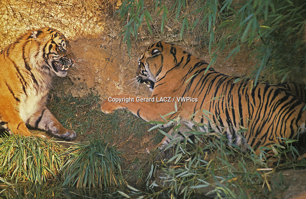 Sumatran Tiger,   panthera tigris sumatrae, Adults fighting