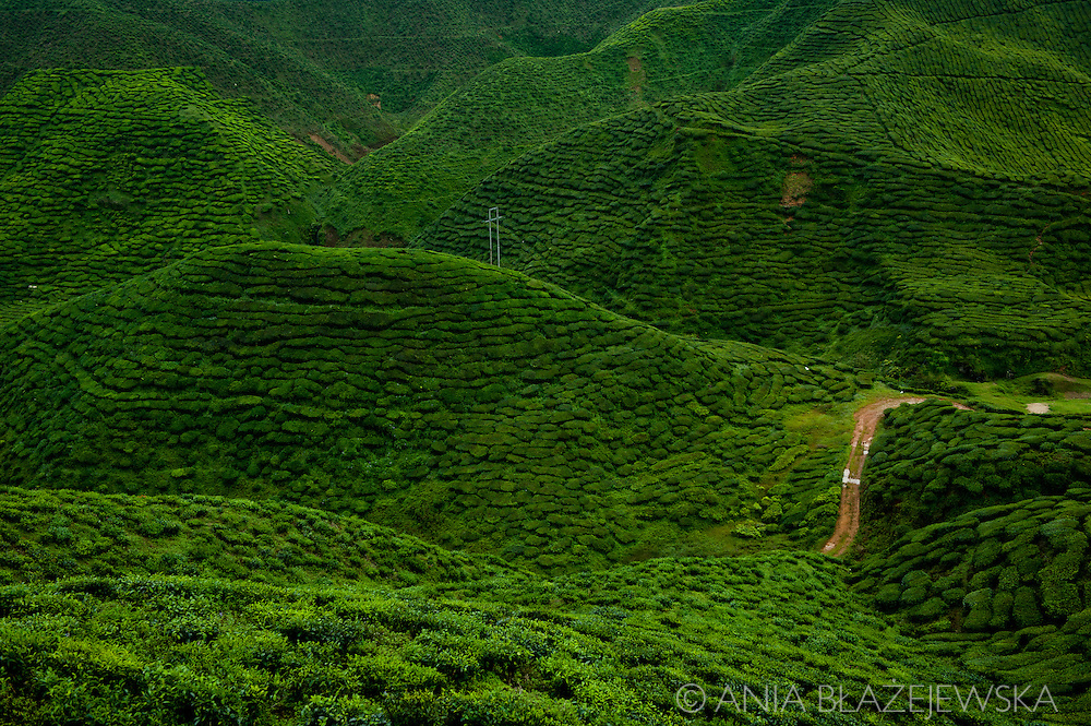 Malaysia, Cameron Highlands. View of tea  hills at Cameron Bharat Tea Plantation.