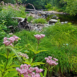 Joe Pye-weed grows next to the Mill River in the new Mill River Greenway in Northampton, Massachusetts.