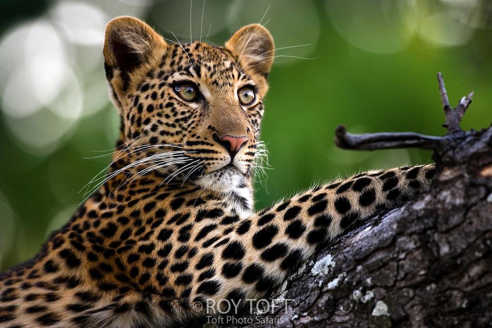 Close-up view of a leopard resting in a tree, Okavango Delta, Botswana.