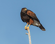 Harris's hawk perched and alert, blue sky background, © 2012 David A. Ponton