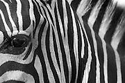 Extreme close up of a zebra