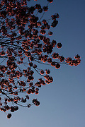 Fruta_MG, Brasil...Detalhe da arvore florida em Frutal...Detail of flower tree in Frutal...Foto: MARCUS DESIMONI / NITRO