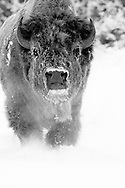 No animal can withstand Wyoming's long winters like the mighty bison.  With early morning temperatures of -15F, steam was rising from this bull's body and his breath was freezing on his fur, making him look almost otherworldly....like a ghostly apparition possessed by the true spirit of winter.