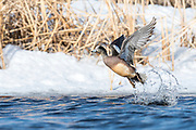 American Wigeon, Mareca americana, male, South Dakota
