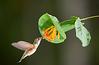 Rufous Hummingbird (Selasphorus rufus) feeding from wild honeysuckle (Lonicera cilosa), Gabriola, British Columbia, Canada   Photo: Peter Llewellyn