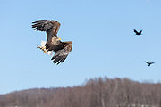 White-tailed eagle flying with fish, Hokkaido