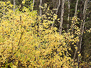 Leaves turn yellow in the fall by white aspen trunks in Granite Canyon, Grand Teton National Park, Wyoming, USA.