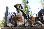 White Dog's Walker coonhounds relax on the dog box during a 2019 Idaho spring black bear hunt