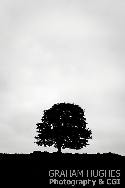 Silhouette of tree and stone wall in middle of field. Near Rogart, Scotland, UK.