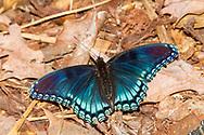 Red-spotted Purple (Limenitis arthemis astyanax)<br /> United States: Alabama: Tuscaloosa Co.<br /> Tulip Tree Springs off Echola Rd.; Elrod<br /> 29-Apr-2017<br /> J.C. Abbott #2942