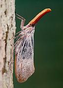 Lanterne Bug (Pyrops sultanus) from Tabin, Sabah, Borneo.