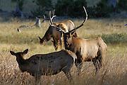Bull Elk, Bull and Cow Elk, Cow Elk, Elk, rut, rutting, mating, Yellowstone, Yellowstone National Park, Wyoming