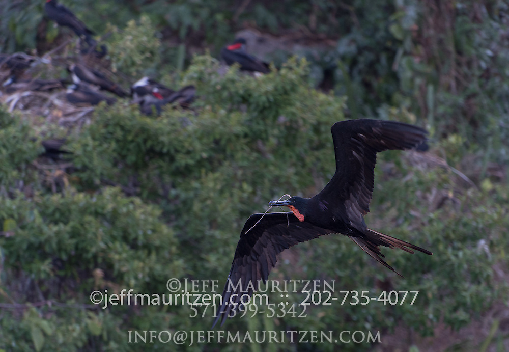 A male magnificent frigatebird carries a branch in flight.