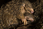 Chinese pangolin <br /> Manis pentadactyla<br /> Mother and two-month-old baby. Mother was rescued from poachers and is now part of Taipei Zoo's captive breeding program. <br /> Taipei Zoo, Taipei, Taiwan<br /> *Captive