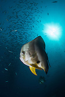 Spadefish and Sunburst<br /> <br /> Shot in Raja Ampat Marine Protected Area West Papua Province, Indonesia