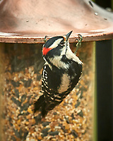 Hairy Woodpecker. Image taken with a Nikon D5 camera and 600 mm f/4 VR telephoto lens (ISO 280, 600 mm, f/4, 1/640 sec)