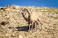 "Bighorn sheep were among the most admired animals of the Apsaalooka (Crow) people in the Bighorn Mountain Range. In the book ""About The Crow: Introduction"" by Graetz, Old Coyote describes a legend related to the bighorn sheep: ""A man possessed by evil spirits attempts to kill his heir by pushing the young man over a cliff, but the victim is saved by getting caught in trees. Rescued by bighorn sheep, the man takes the name of their leader, Big Metal. The other sheep grant him power, wisdom, sharp eyes, sure-footedness, keen ears, great strength, and a strong heart. Big Metal returns to his people with the message that the Apsaalooka people will survive only so long as the river winding out of the mountains is known as the Bighorn River."""
