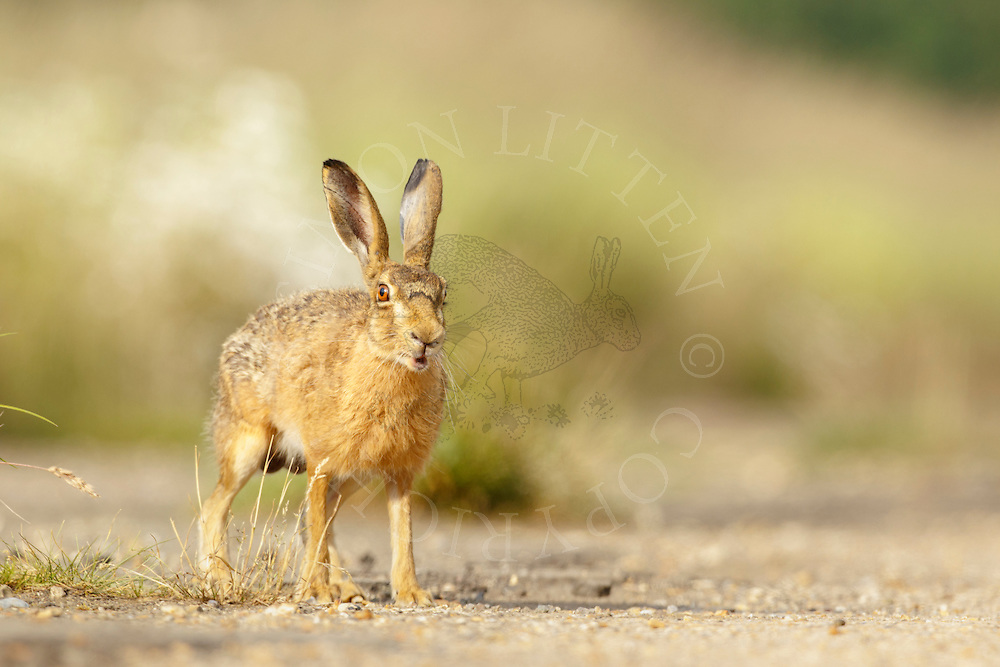 European Hare (Lepus europaeus) adult on farmland, Norfolk, UK.