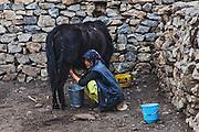 Spiti woman milking a Zomo in the Doagsar above Mane Yongma village in Spiti, Himachal Pradesh, India