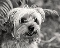Yorkshire Terrier Zach Playing Hide n' Seek in the Ferns