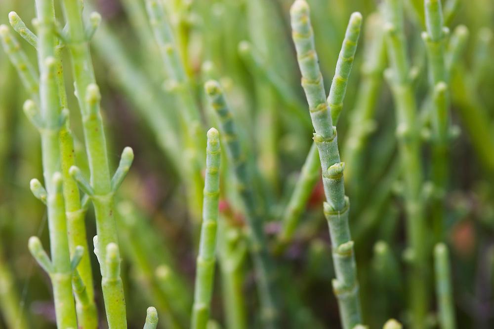 Salt resistant plant, Camargue, France